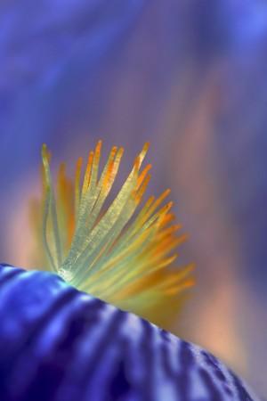 {Farbenspiel} Irisblüte